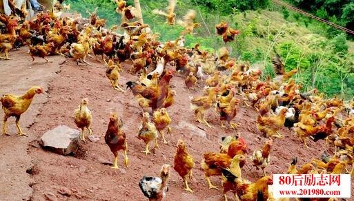 养鸡怎么赚钱?养鸡