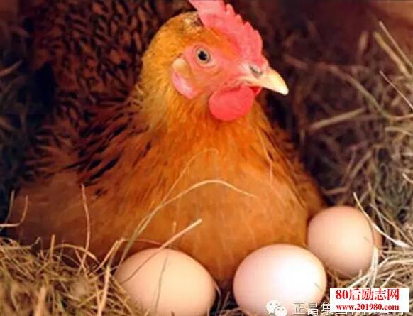 怎么养鸡赚钱?蛋鸡