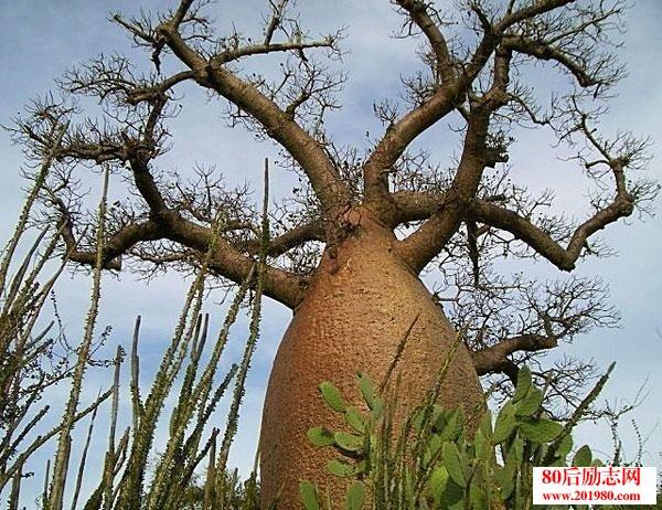 低调坚守的纺锤树: