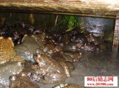 石蛙养殖创业,贵阳