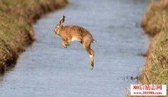 跳河的兔子