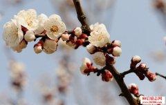 描写杏花的优美句子
