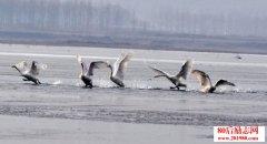 林清玄:心里的天鹅