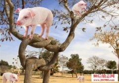 如何让猪上树?