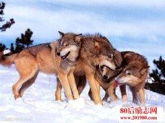 与狼在一起 终究一