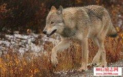 狼的生存法则