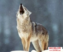 狼图腾读后感:狼性