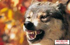 黄章晋关于狼的书籍