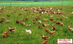 养鸡赚钱吗?养什么