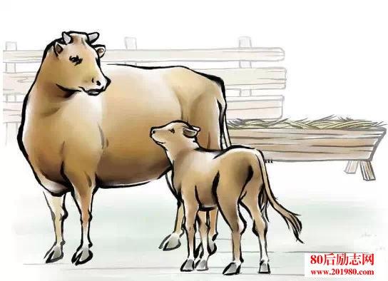 动物感人的母爱故事:老牛的眼泪