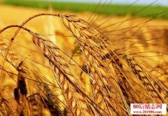 低头的稻穗,昂头的