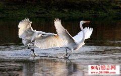 动物感动故事:白鹤