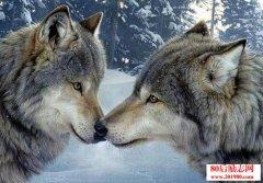 感人故事:狼的爱情