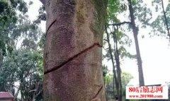 一颗受伤的树
