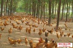 家禽养殖如何预防疾