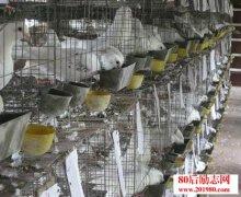 养殖肉鸽赚钱吗?201