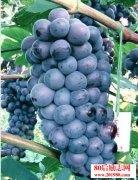 种植夏黑葡萄有什么