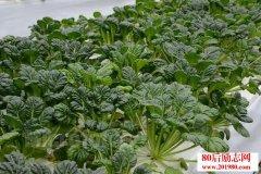 种植乌塌菜赚钱,有哪些种植技术及病虫害防治方法?