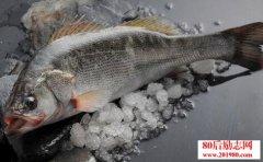 鲈鱼养殖致富经,网
