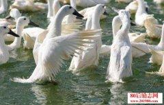 白鹜鸭养殖技术,《