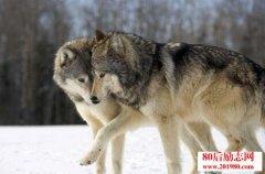 关于狼的真实故事