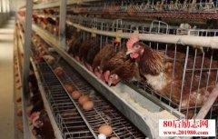 蛋鸡养殖创业如何提