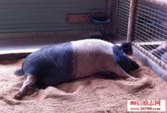 累,是因为你像猪一
