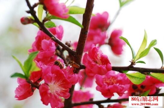 形容桃花盛开的句子