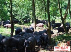 生态跑猪养殖创业,
