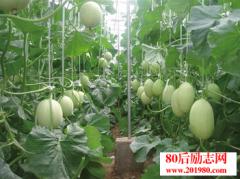 大学生回乡带领村民大棚种植创业,力争亩产5万元