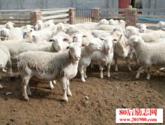 返乡农民工养羊创业