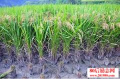 农村种植好项目:土