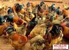 农村创业者为什么养