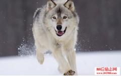身后有只狼:面对困