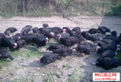 农民返乡养殖火鸡创