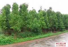农村种植风景树的前
