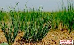 <b>沙土地种植什么最赚钱?种沙葱一亩能赚四五万</b>