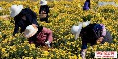 <b>青海退伍军人种植高原冠菊创业,打造青海的新名片</b>