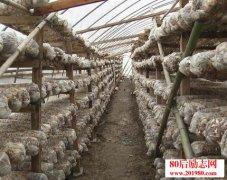 贵州开阳食用菌种植