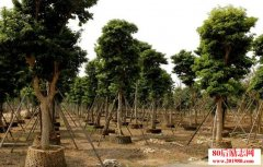 <b>江西芦溪90后小伙苗木种植创业,3年收回500万投资</b>