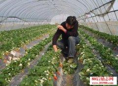 草莓种植,如何除草