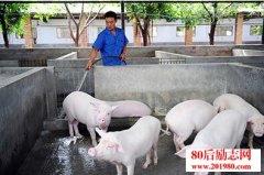 养猪管理经验:如何