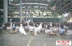 养殖肉鸽赚钱吗?如