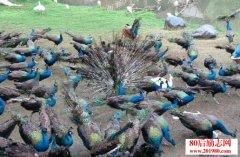 孔雀养殖是赚钱致富