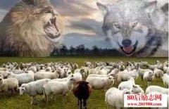 羊群的抉择,选狼还