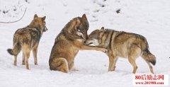 头狼不容易,向人生
