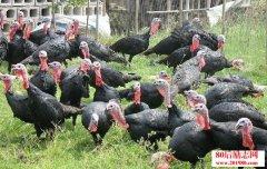 三门峡20岁男孩养火鸡赚第一桶金,引领村民火鸡养殖热