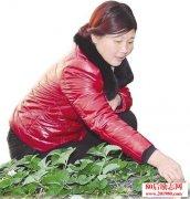 """<b>河南洛阳""""铁姑娘""""种植草莓返乡创业铺就致富路</b>"""