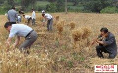 县长割麦子,结局谁都没想到!