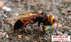 掘地蜂的故事启示:摆脱基因控制,心灵才会自由